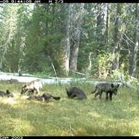 Wolf pups frolic in Siskiyou County