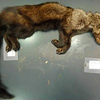 The body of a fisher that researchers say was poisoned by rodenticides found at an illegal marijuana grow.
