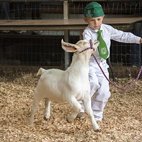 Justin Noga, of Arcata and the Arcata Bottoms 4-H Club, led his Boer goat, Thrasher, in the entry-level age group in the showmanship competition.