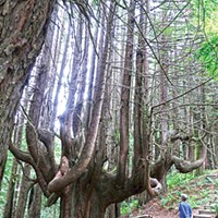 Candelabra redwood tree on the new Peter Douglas trail near Usal beach.
