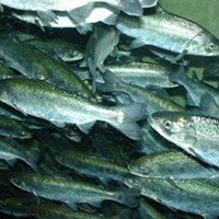 Favorable ocean conditions and heavy rains have brought the Chinook Salmon back, but to a river choking of toxic algae.