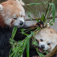 Red pandas at the Sequoia Park Zoo.