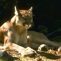 Rio Dell officials caution residents to keep pets and children inside due to unusual cougar activity.