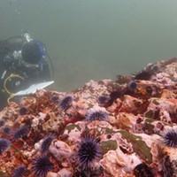 Urchins blanket a rocky reef.
