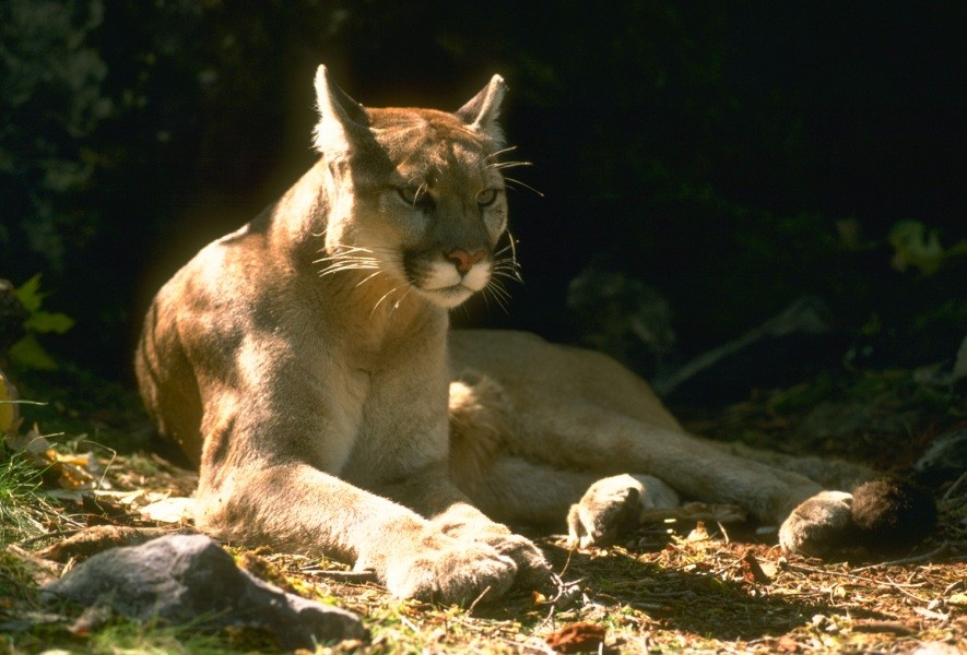 Arcata police are alerting residents about a mountain lion sighting. - CALIFORNIA DEPARTMENT OF FISH AND WILDLIFE