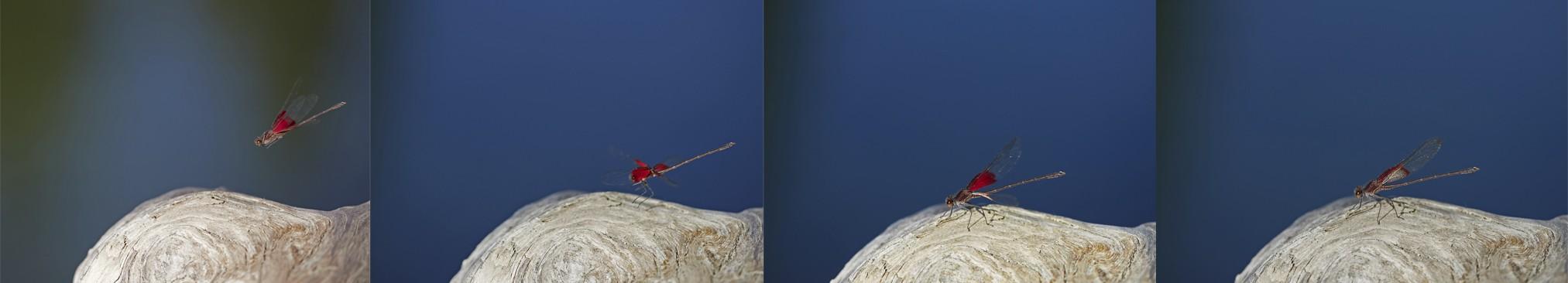 American rubyspot sticks the landing. - PHOTO BY ANTHONY WESTKAMPER