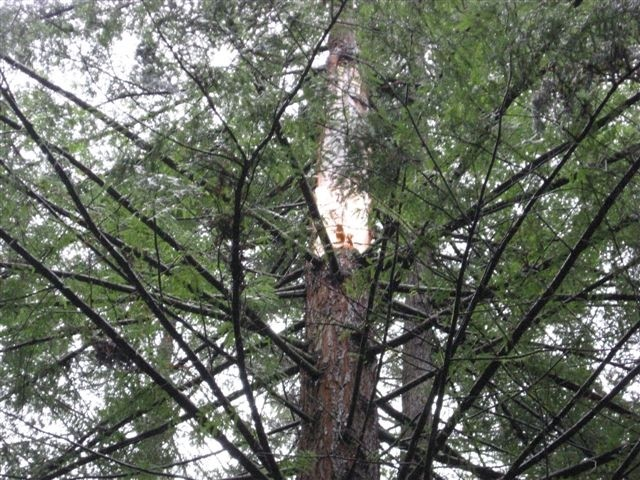 The site in the tree where the trunk broke off. - CHP PHOTOS