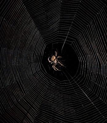 A cross orbweaver, busy descendant of Arachne.