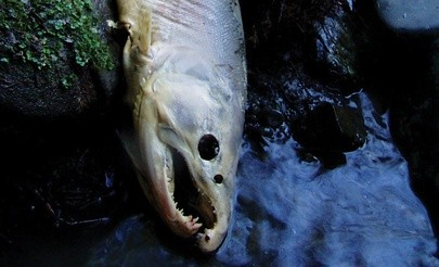 A coho salmon carcass observed during a spawner survey, in which dead adult fish and salmon nests, or redds, are assessed. - PHOTO COURTESY OF BOB PAGLIUCO