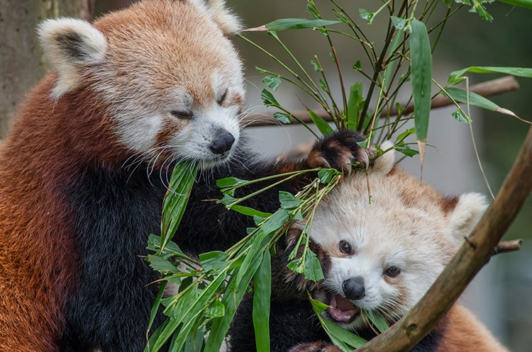 Red pandas at the Sequoia Park Zoo. - SUBMITTED