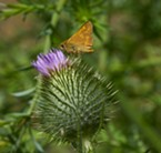 Skipper dines on thistle.