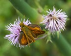 A spunky little skipper on a thistle.