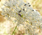 Tumbling flower beetles on Queen Anne's lace.