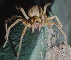Wall spider. The arrangement of her eight eyes indicates she is a member of the genus Oecobiidae.