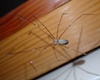 """Cellar spiders are sometimes called """"daddy longlegs"""" but are not closely related."""