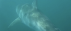 A great white makes its exit in Stockwell's video.