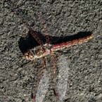 Closeup of a variegated meadowhawk.