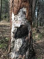 Evidence of a burn scar on a tree.