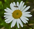 Syrphid fly inspects a daisy before landing.