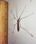 A giant crane fly measures up.