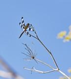 A male 12 spot dragonfly.