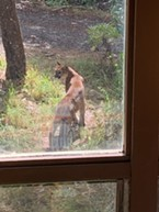 A mountain lion spotted from a Bayside window.