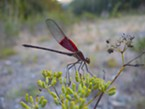 American rubyspot led me a merry chase on a gimpy ankle.
