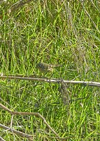 Ruby-crowned kinglet led me a merry chase.