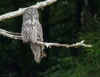 UPDATED: Birders Flock to Great Gray Owl