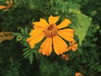 Tagetes erecta - single flower.