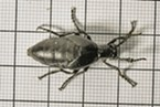 Blister beetle on a centimeter/millimeter grid.