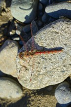 Variegated Meadowhawk on a rock.