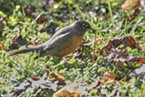A robin taking a worm in my front yard.