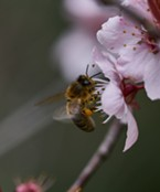 A honeybee (Apis mellifera) on a blossom.