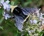 Yellow faced bumblebee (Bombus vosnesenski), the largest bee in my yard, and fairly common.