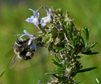 Hover feeding mining bee avoids anthers.