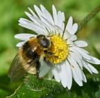 A honeybee mimic bulb fly on a lawn daisy.