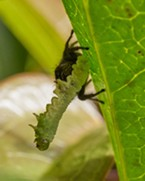 A red backed jumping spider eating a caterpillar that was munching my plum tree's leaves.