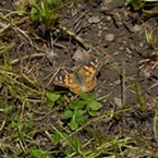 A painted lady butterfly in the backyard.