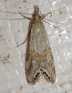 A snout moth.