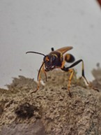 Mud dauber applying mud to her nest.