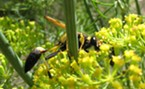 Mud dauber sipping nectar from dill in my garden.