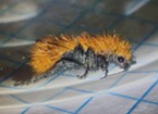Cute little fuzzy velvet ant.  Don't let her looks fool you.  She packs a wallop.