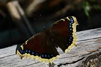 The mourning cloak butterfly, showing coloration like the similarly named grasshopper.