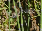 A delicate California spreadwing.