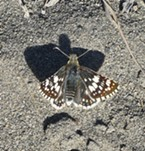 A common checkered skipper.