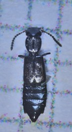 A rove beetle; note the squares in the background are 1 millimeter each.