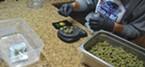 A dispensary employee weighs out marijuana.