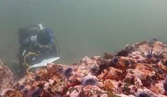 North Coast's Abalone Season Closed Until 2021