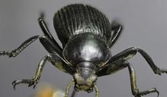 HumBug: Darkling Beetles and Mosquitoes